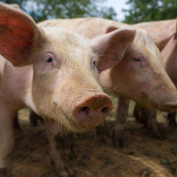 Poumons artificiels : une transplantation réussie chez le cochon