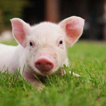 Researchers successfully put bioengineered lungs unto pigs