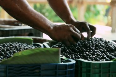 Canadian clinical trial looks to acai berries in hopes of preventing severe cases of COVID-19