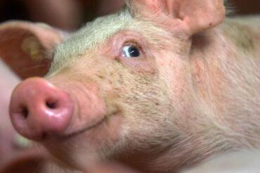 Scientists edit pig genome with goal of human organ transplants