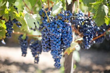 Parkinson's linked to pesticide exposure in vineyard farmers